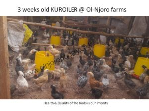 Prices of Chicks – Olnjoro Poultry